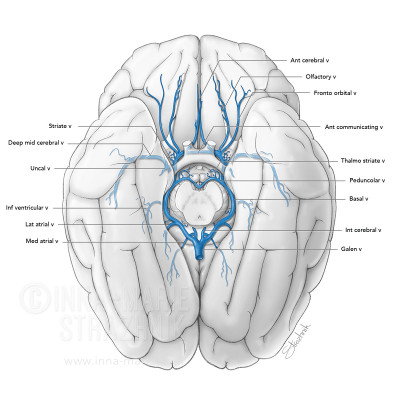 Venous anastomotic circle of the brain
