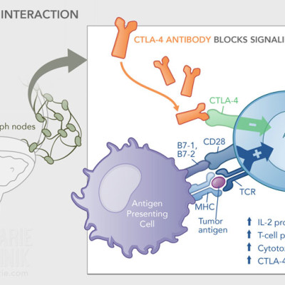 T-Cell APC Interaction; CTLA-4 Antibody
