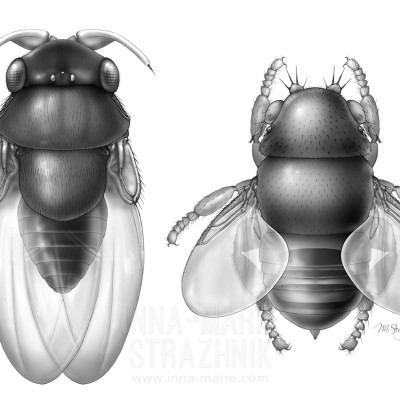 Ephryid-Like New Species of Phoridae, Male and Female