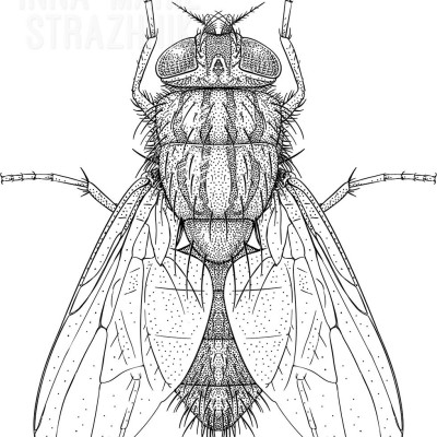 False Stable Fly