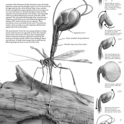 Megarhyssa atrata, Movements in Ovipositing -  Ichneumon Wasp